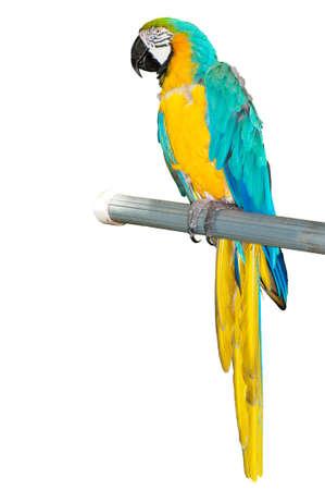 guacamayo: Aves de loro colorido sentado sobre la percha  Foto de archivo