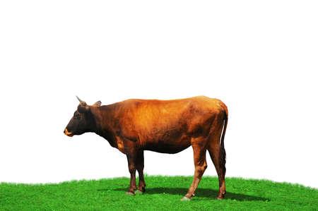 calas blancas: Vaca aislado en el campo verde Foto de archivo