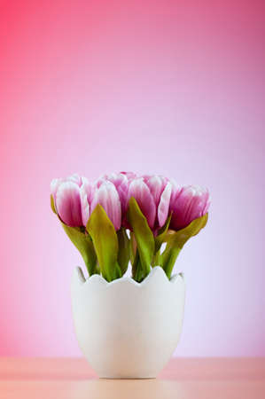 bulbous: Colorful tulip flowers in the white pot Stock Photo