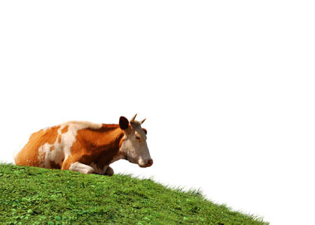 Cow isolated at the green field photo