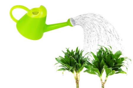 Dracaena plant isolated on the white background Stock Photo - 9007614