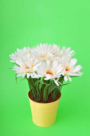 White gerberas in the pot photo