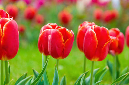 Many tulips in the park photo