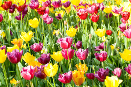 flower bulb: Many tulips in the park