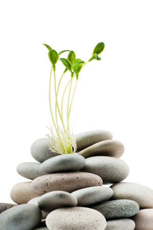stability: Pebbles and seedlings - alternative medicine concept