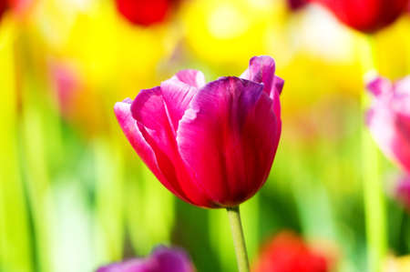 Tulip flowes in the park Stock Photo