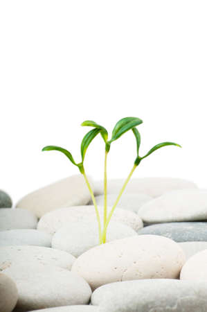Pebbles and seedlings - alternative medicine concept photo