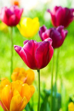 Flores de tulipanes en el parque