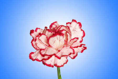 Red carnation against gradient Stock Photo - 12226142