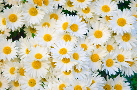 Camomiles flowers in nature concept photo