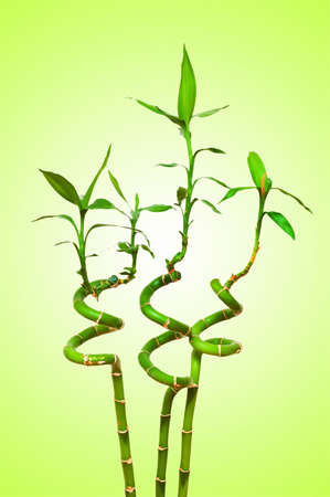 Bamboo branches against the background photo