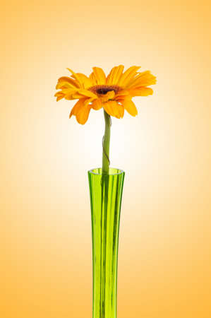 Orange gerbera against gradient background photo