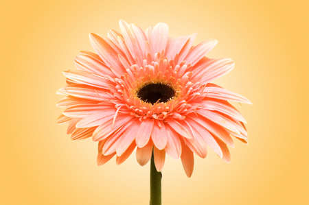 Gerbera flowers against the background photo