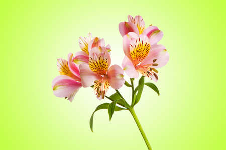 Colourful lilies against gradient background Stock Photo - 12348713