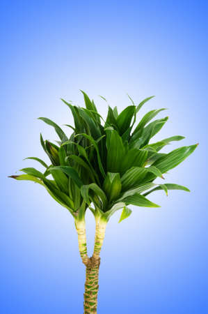Dracaena plant against gradient background photo