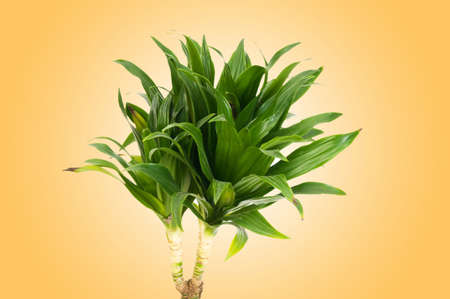 Dracaena plant against gradient background Stock Photo - 12502995