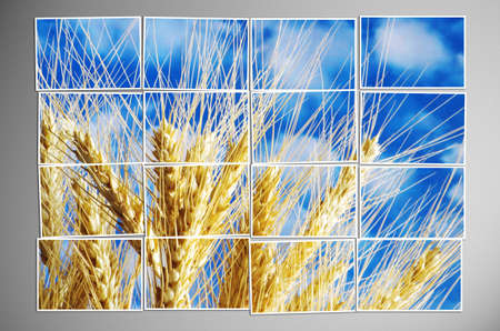 wheatfield: Photo cut into pieces with nature concept