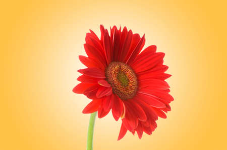 Gerbera flower against gradient background photo