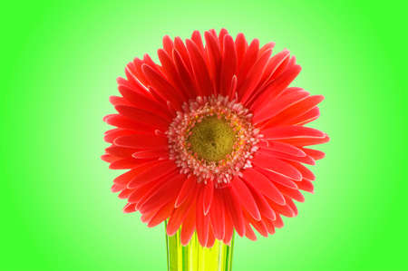 Gerbera flower against gradient background photo