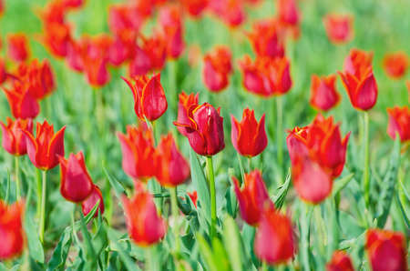Flowers tulips in the garden Stock Photo - 13523339