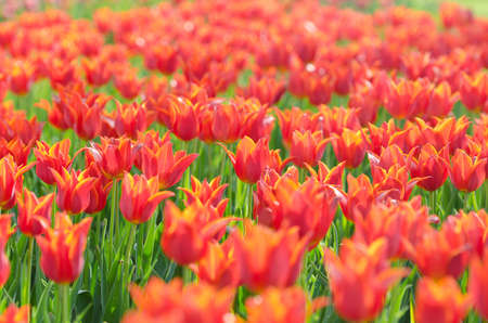 Flowers tulips in the garden Stock Photo - 13523157