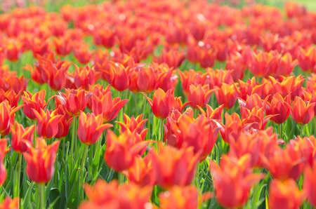 Flowers tulips in the garden Stock Photo - 13523157