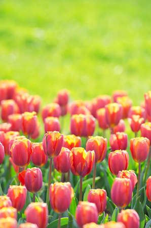 Flowers tulips in the garden Stock Photo - 13523297