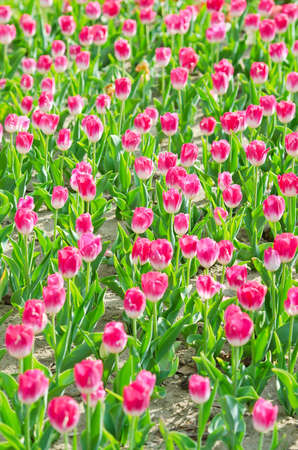 Flowers tulips in the garden Stock Photo - 13523238