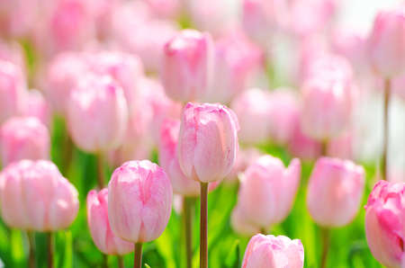 Flowers tulips in the garden Stock Photo - 13516367