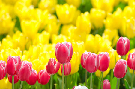 Flowers tulips in the garden Stock Photo - 13522986