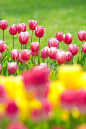 Flowers tulips in the garden Stock Photo - 13522997