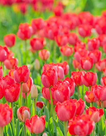 Flowers tulips in the garden Stock Photo - 13523057