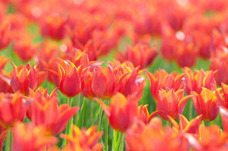 Flowers tulips in the garden Stock Photo - 13867848
