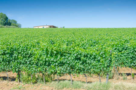 Vineyard on a bright summer day photo