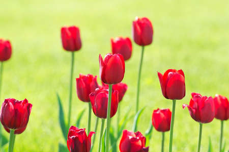 tulipa: Garden with tulip flowers in summer