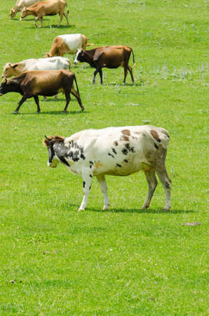 Cows grazing on the green field photo
