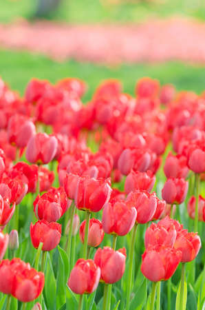 Flowers tulips in the garden photo