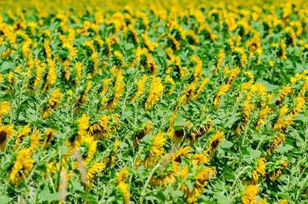 Sunflower field on bright summer day Stock Photo - 18014561
