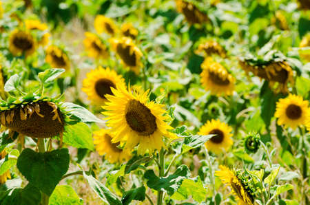 Sunflower field on bright summer day Stock Photo - 18014485