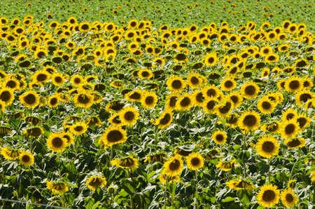 Sunflower field on bright summer day Stock Photo - 18014554