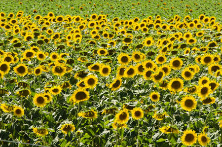 Sunflower field on bright summer day Stock Photo - 18014554