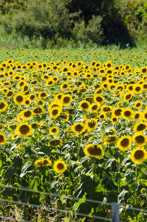 Sunflower field on bright summer day Stock Photo - 18014518