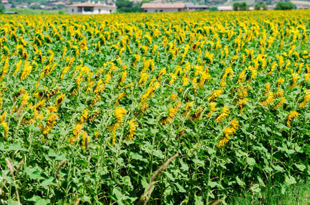 Sunflower field on bright summer day Stock Photo - 18163169