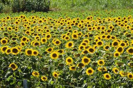 Sunflower field on bright summer day Stock Photo - 18174049