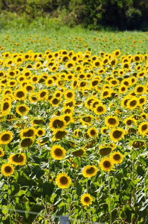 Sunflower field on bright summer day Stock Photo - 18174041