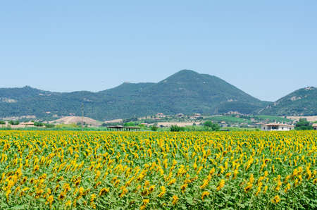 Sunflower field on bright summer day Stock Photo - 18302804