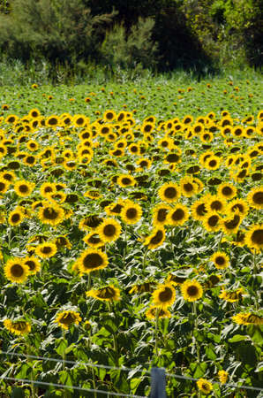 Sunflower field on bright summer day Stock Photo - 18609780