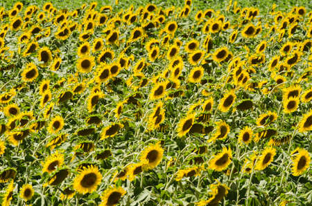 Sunflower field on bright summer day Stock Photo - 18744988