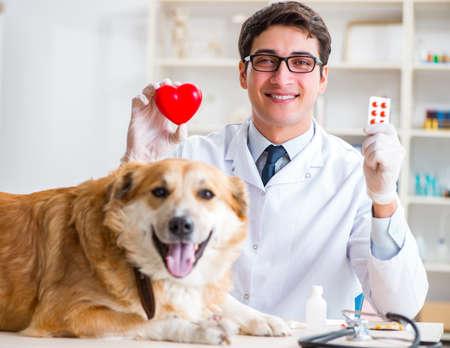 Medico che esamina cane golden retriever in clinica veterinaria
