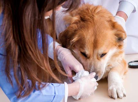 Arzt und Assistent überprüfen Golden Retriever Hund in der Tierklinik